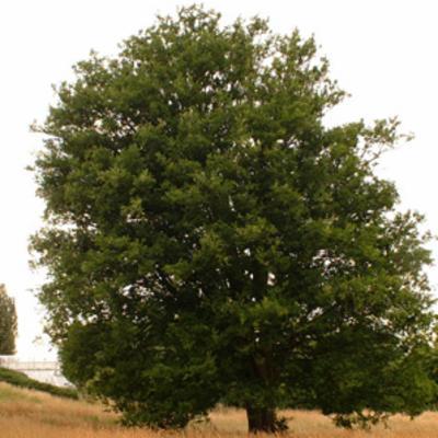 Zelkova carpinifolia (Caucasian elm)