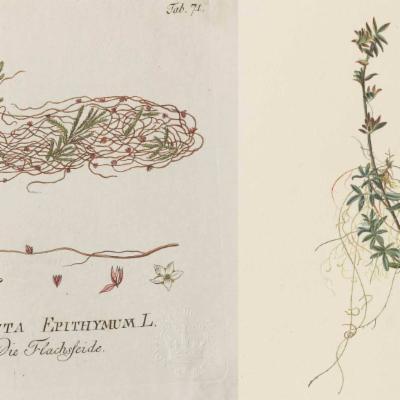 Illustrations of Cuscuta epithymum