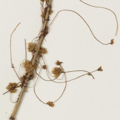 Cuscuta epithymum herbarium specimen