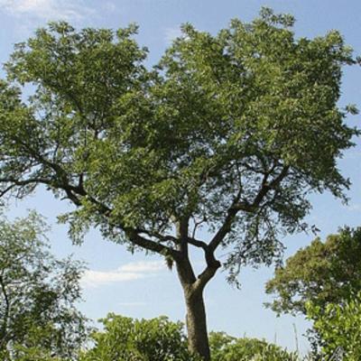 Sclerocarya birrea (marula)