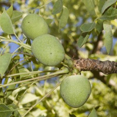 Sclerocarya birrea (marula) fruits
