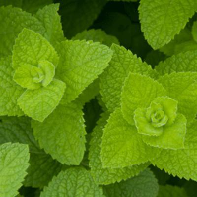 Mentha suaveolens (apple mint)