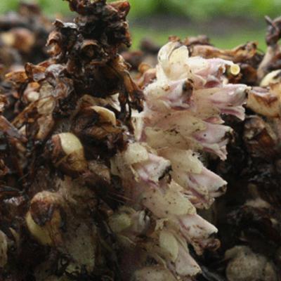 Lathraea squamaria (toothwort) cluster