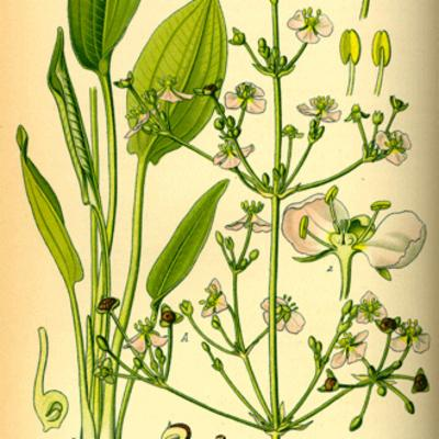 Alisma plantago-aquatica (common water-plantain) illustration