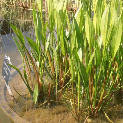 Alisma plantago-aquatica (common water-plantain) at Kew