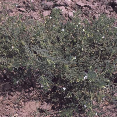 Cicer arietinum (chickpea) Haryana, India