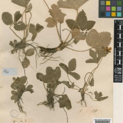 Potentilla vesca (woodland strawberry) herbarium specimen