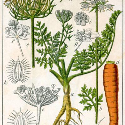 Daucus carota (wild carrot) illustration
