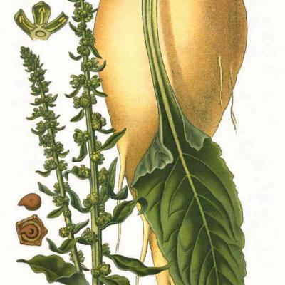 Beta vulgaris (beet) illustration