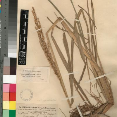 Photo of Herbarium specimen of Oryza glaberrima, African rice