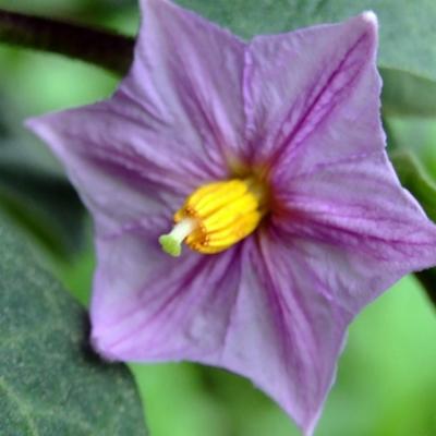 Solanum melongena (aubergine)