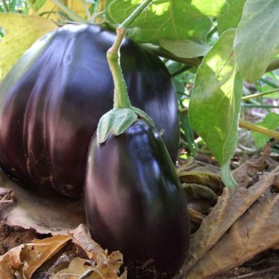 Photo of Aubergine, Solanum melongena