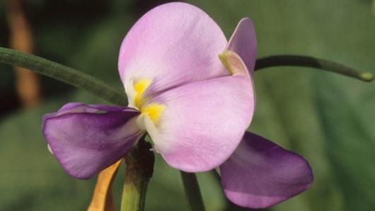 Vigna unguiculata l walp plants of the world online kew science images mightylinksfo