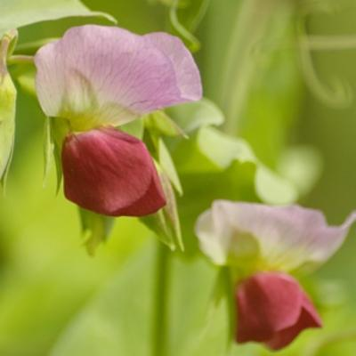 Pisum sativum (pea)