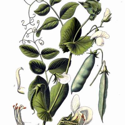 Photo of Coloured plate of Pisum sativum, pea