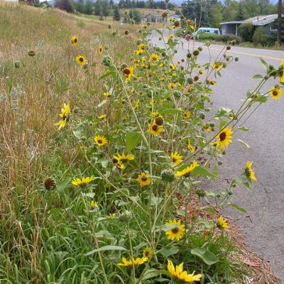 Photo of Helianthus annuus, sunflower by the roadside