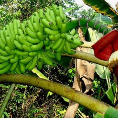 Musa acuminata (banana)