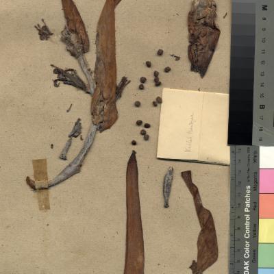 Photo of a Herbarium specimen of Musa acuminata, banana