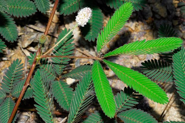 Mimosa Pudica L Plants Of The World Online Kew Science