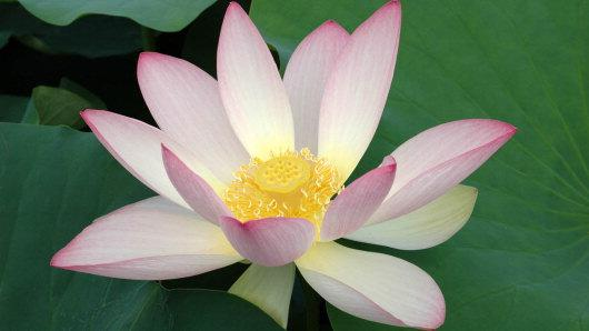 Nelumbo nucifera gaertn plants of the world online kew science images mightylinksfo