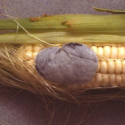 Ustilago maydis (maize smut)