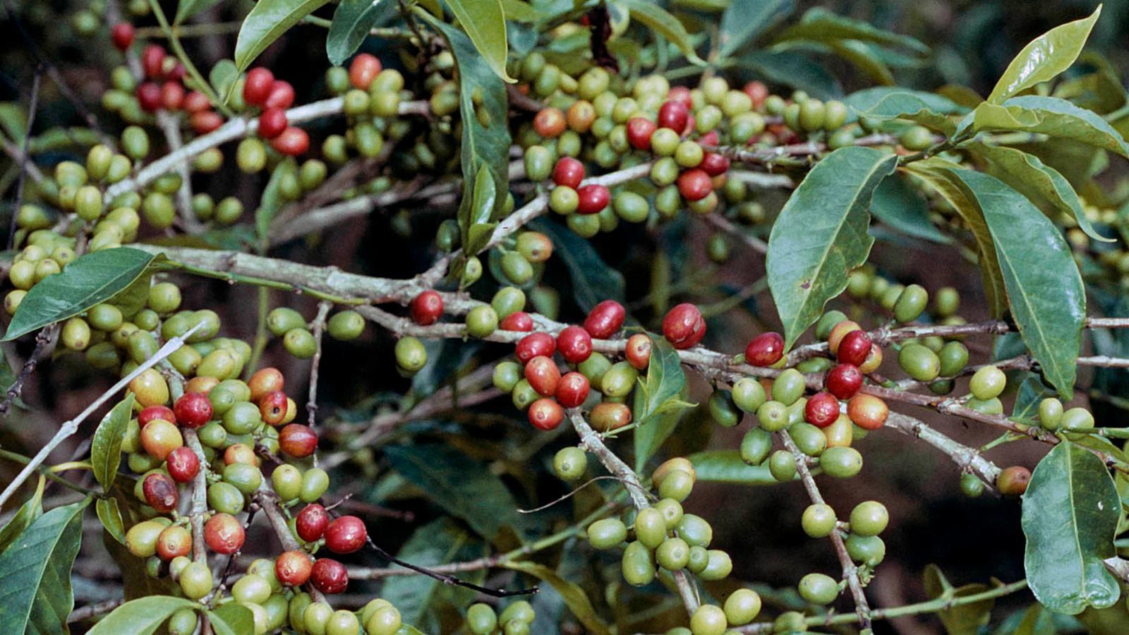 arabica coffee cameroon