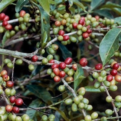 Coffea arabica (Arabica coffee)