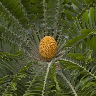 Encephalartos woodii (Wood's cycad)