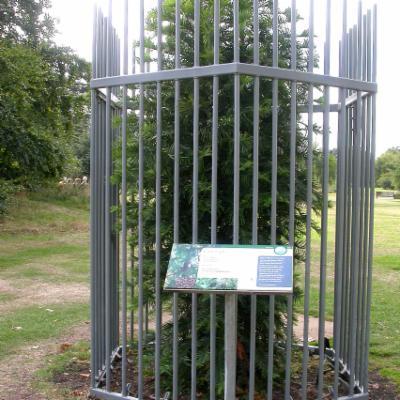Wollemia nobilis cage orangery
