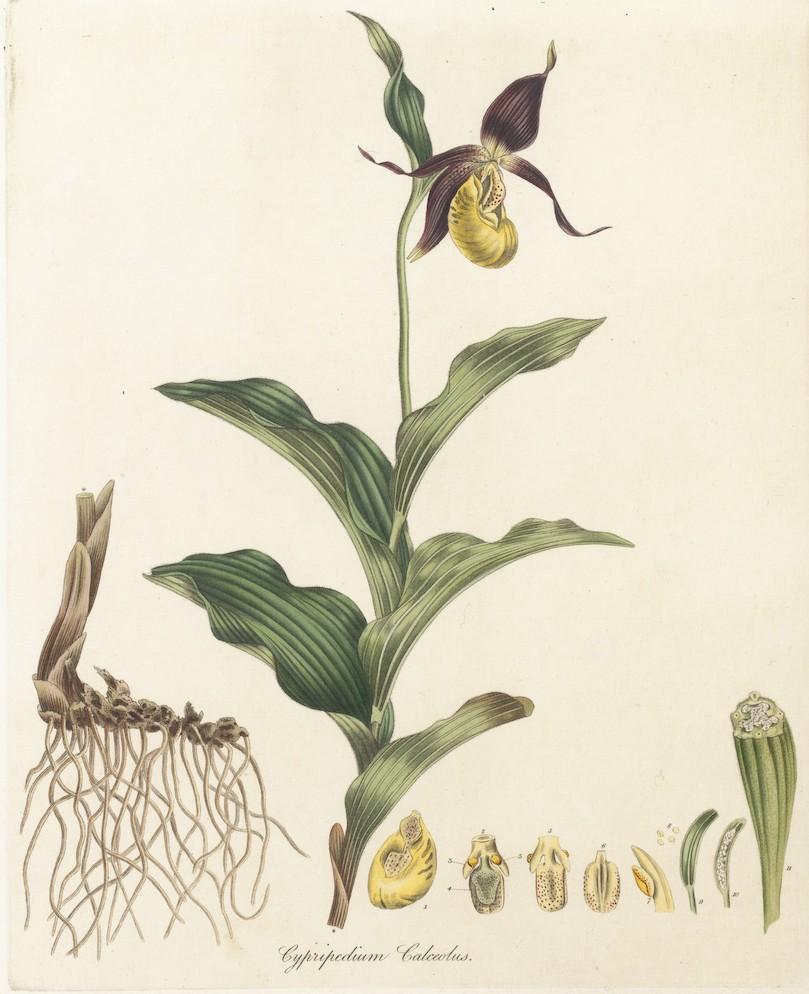 Cypripedium Calceolus L Plants Of The World Online Kew Science