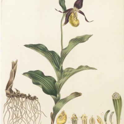 Cypripedium calceolus illustration