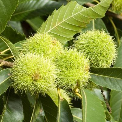 Castanea sativa (sweet chestnut)
