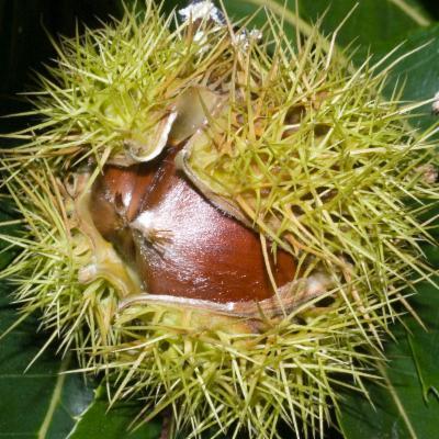 Castanea sativa chestnut