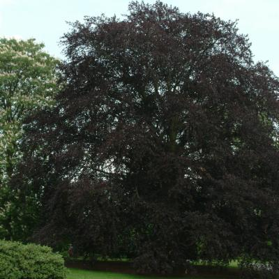 Fagus sylvatica (copper beech)