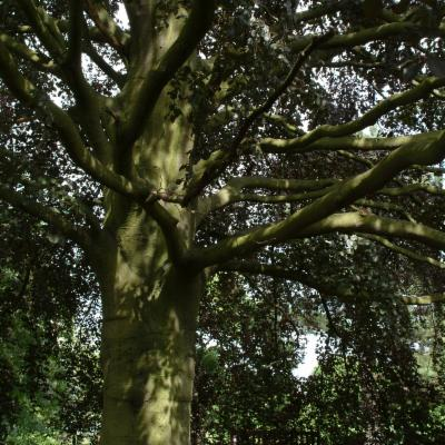 Fagus sylvatica trunk and branches