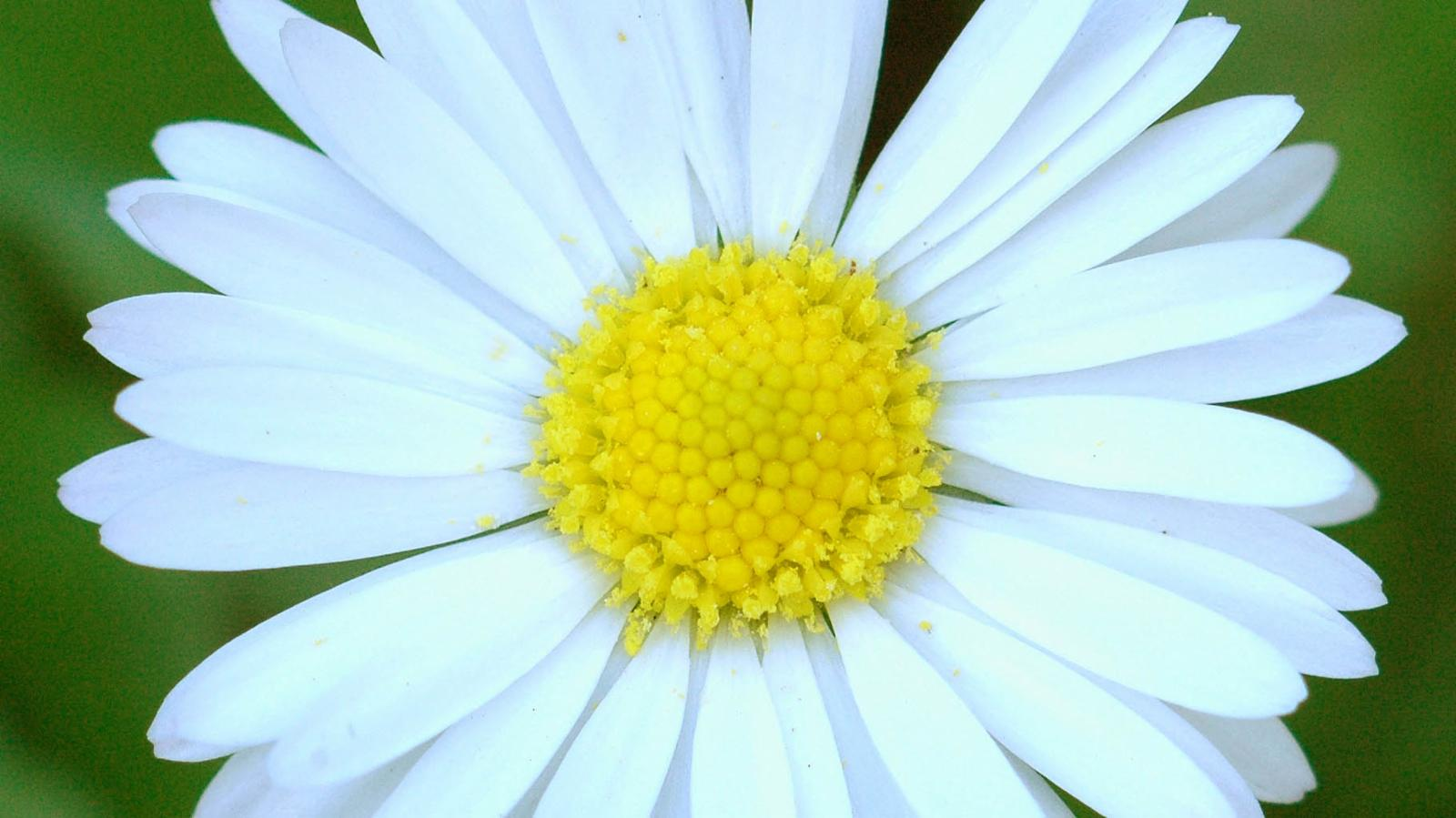 Bellis perennis l plants of the world online kew science ksp izmirmasajfo