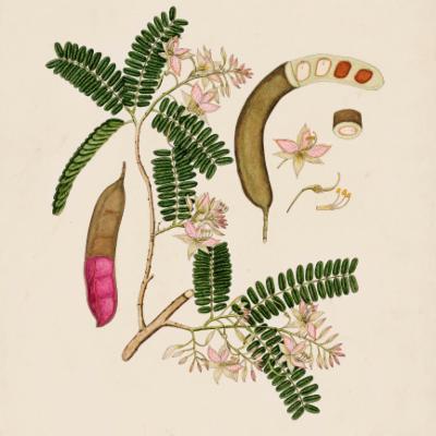 Tamarindus indica illustration