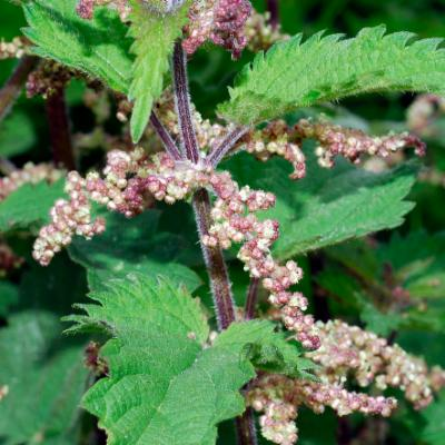 Urtica dioica (nettle)