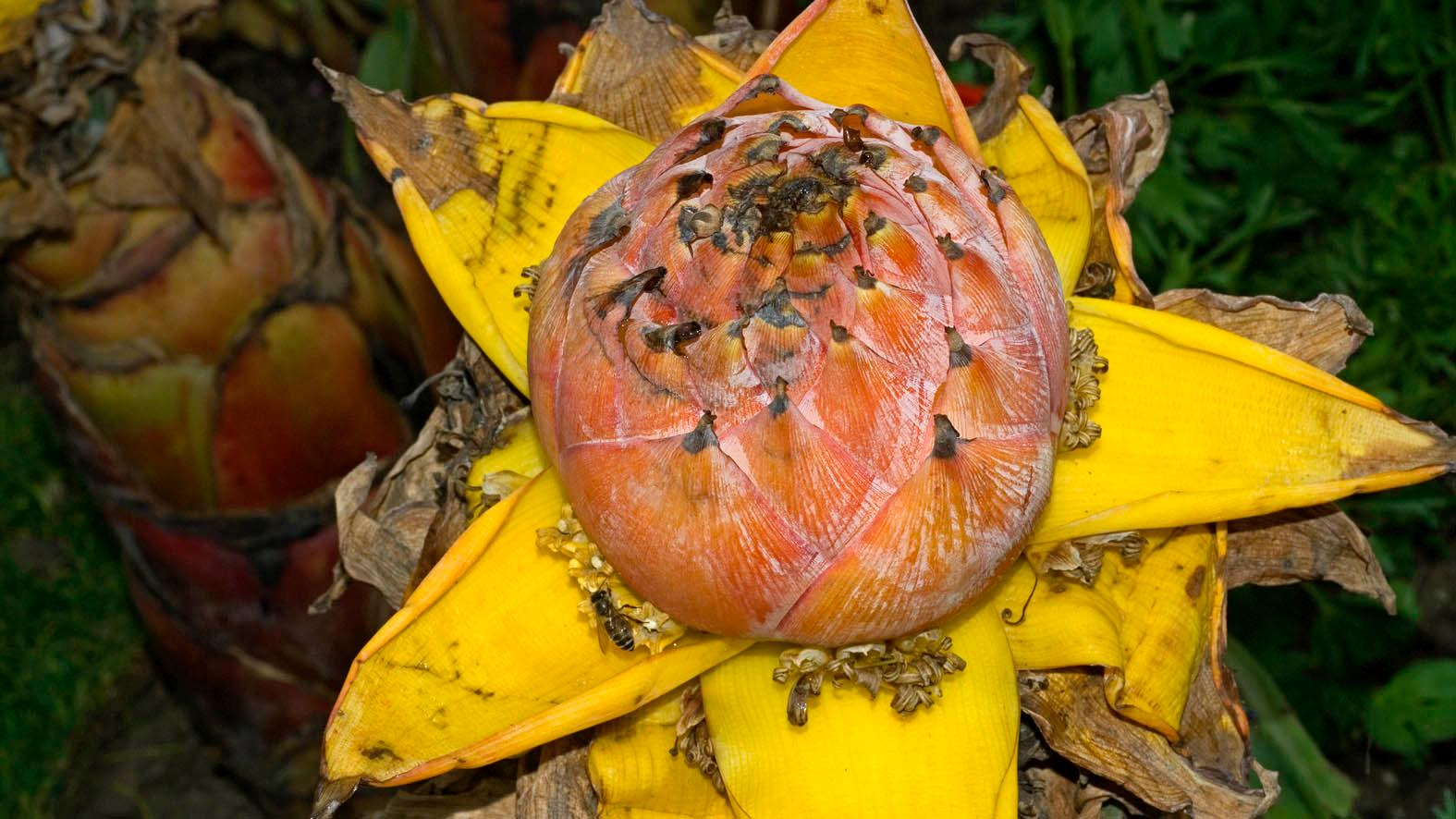 Musella Lasiocarpa Franch Cywu Ex Hw Plants Of The World