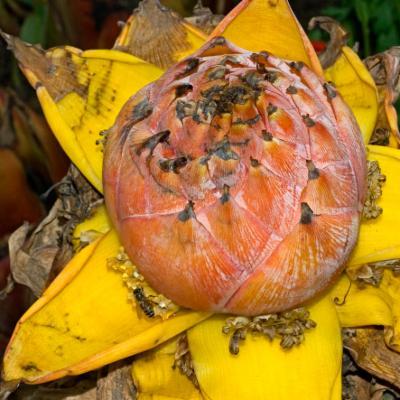 <em>Musella lasiocarpa</em> (golden lotus banana)