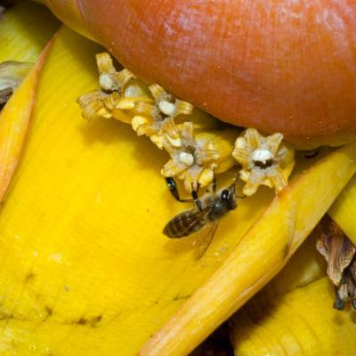<em>Musella lasiocarpa</em> visited by bee