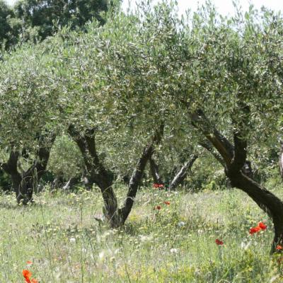 Olea europaea trees pg