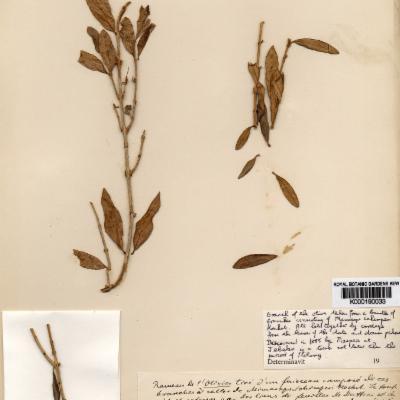 Olea europaea herbcat specimen