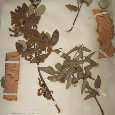 Quercus suber specimen