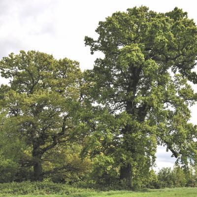 Quercus robur in Farnham Park Surrey
