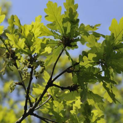 Quercus robur new foliage