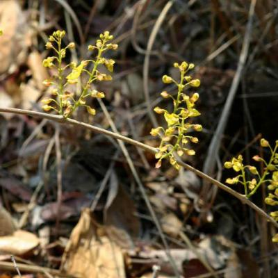 Plectranthus esculentus branch