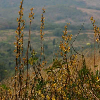 Plectranthus esculentus habitat