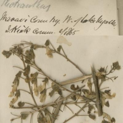 Plectranthus esculentus herbcat