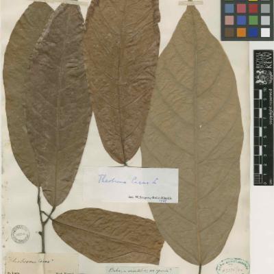 Theobroma cacao specimen